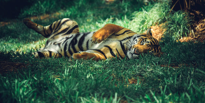 Обои Тигр лежит на траве, фотограф Stephen Moehle