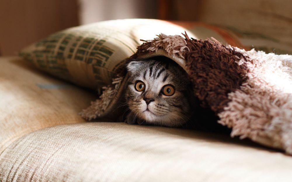 Обои для рабочего стола Котенок прячется под одеялом