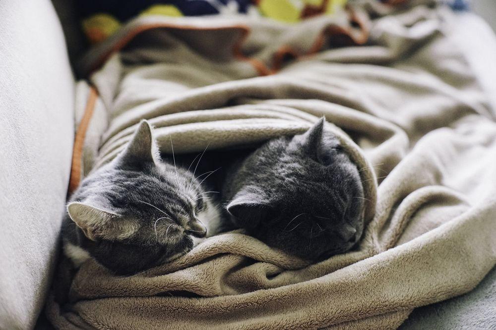 Обои для рабочего стола Два серых котика под пледом