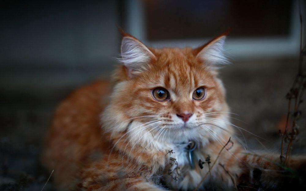 Кот с кисточками рыжий