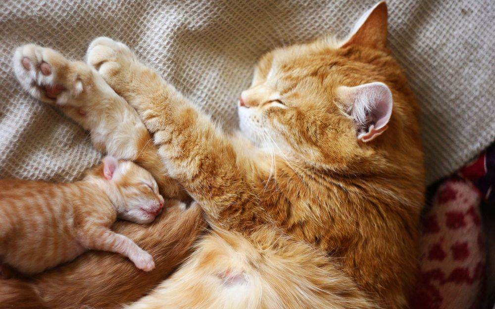 Обои для рабочего стола Мама кошка с котятами спит