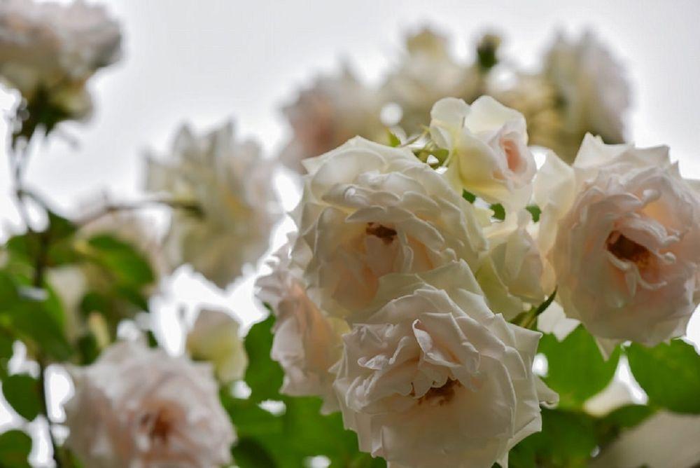 Обои для рабочего стола Белые розы, by naruo0720