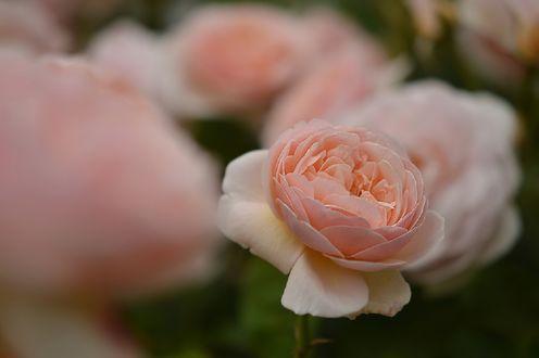 Обои Нежно-розовые розы, by naruo0720