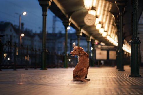 Обои Пес на перроне, фотограф Анна Аверьянова