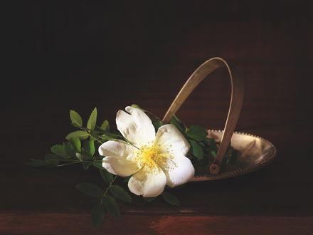 Обои Цветок шиповника в корзиночке. Фотограф Прозорова Наталья