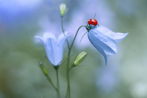 Обои Божья коровка на голубом колокольчике, фотограф Elena Andreeva