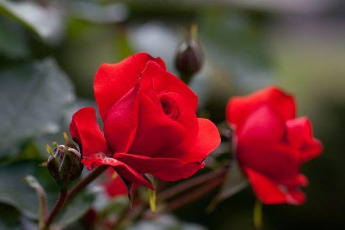 Обои Две алые розы, фотограф Yoko Nekonomania
