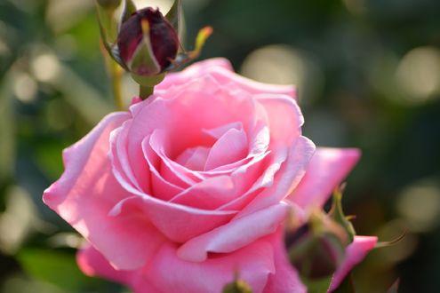 Обои Розовая роза на размытом фоне, фотограф naruo0720