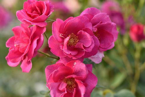 Обои Розовые розы на размытом фоне, фотограф naruo0720
