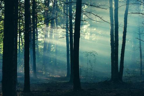 Обои Туманный утренний сосновый лес, фотограф Gene Oryx