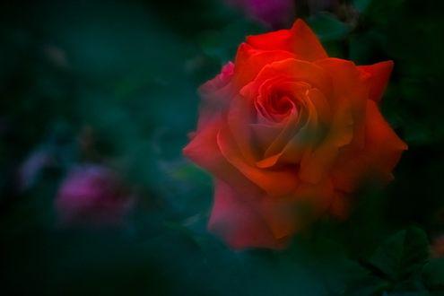 Обои Красная роза в зелени, by tetsuya sugiyama