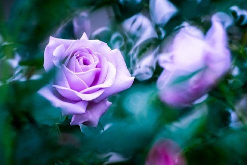 Обои Сиреневые розы в зелени, by tetsuya sugiyama