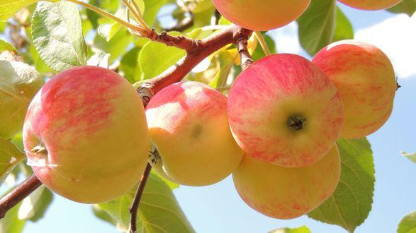 Обои Румяные яблочки на ветке