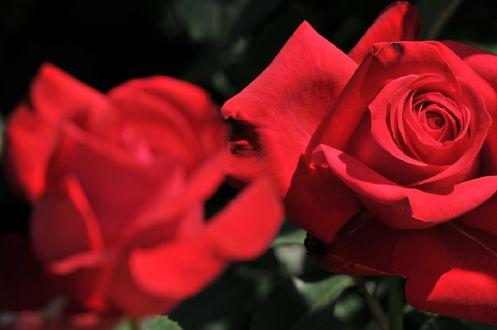 Обои Красные розы на размытом фоне, фотограф naruo0720