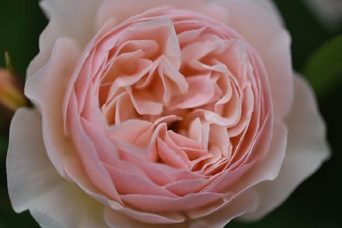 Обои Розовая роза крупным планом, фотограф naruo0720
