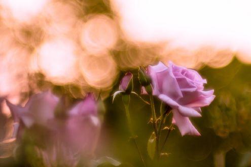 Обои Сиреневые розы на фоне боке, by tetsuya sugiyama