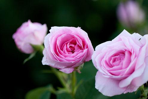 Обои Три розовые розы на размытом фоне, фотограф nekonomania