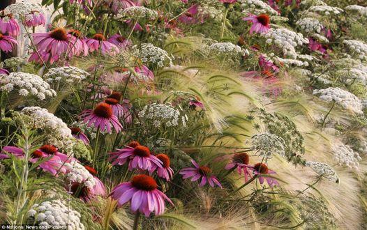 Обои Цветы эхинацеи среди цветущей полевой кашки