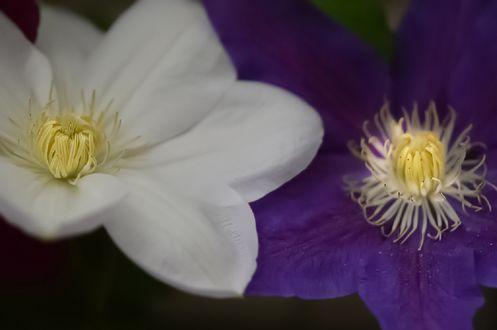 Обои Белый и сиреневый цветок крупным планом