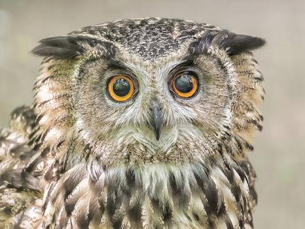 Обои Филин с огромными желтыми глазами. Фотограф Поляков Андрей