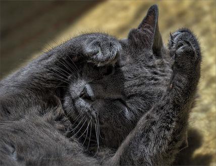 Обои Серей полосатый кот закрывает мордочку от солнечных лучей. Фотограф Sergey Drobkov