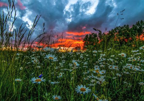 Обои Белые ромашки и колокольчики в траве, на фоне красочного закатного неба. Фотограф Daiva Cirtautе