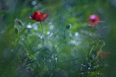 Обои Красные маки в траве, фотограф Gabriel Prescornita