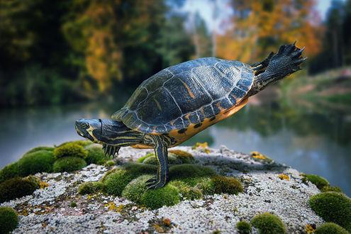 Обои Черепаха усилено занимается гимнастикой и уже может делать стойку на лапах, фотограф John Wilhelm / Джон Вильгельм