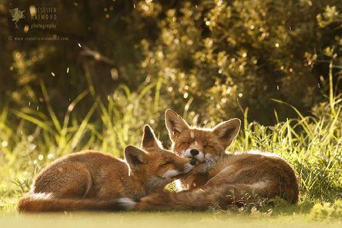 Обои Две лисички рядом лежат на земле, фотограф Roeselien Raimond
