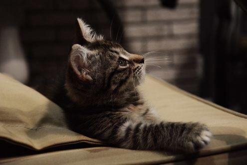 Обои Серый котенок смотрит вверх, by Маргарита Никки