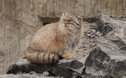 Обои Кот манул на серых камнях
