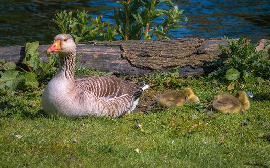 Обои Мать гусыня с маленькими гусятами сидит на зеленой траве