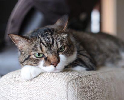Обои Серый кот лежит на кресле