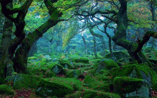 Обои Сумрачный Sherwood Forest, Nottingham, UK / Шервудский лес, Ноттингем, Великобритания в голубом тумане
