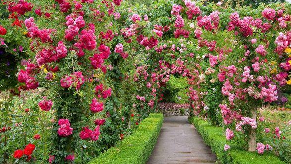 Обои Butchart Gardens / Британская Колумбия, парк c аллеей в розовых розах