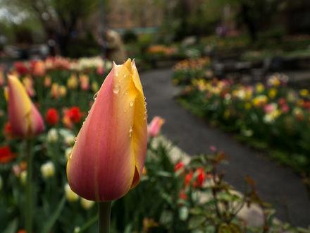 Обои Тюльпан в каплях росы на аллее с тюльпанами