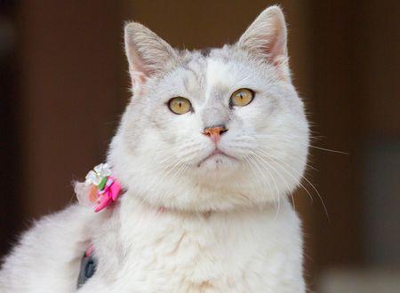 Обои Белый толстый кот с поводком на шее