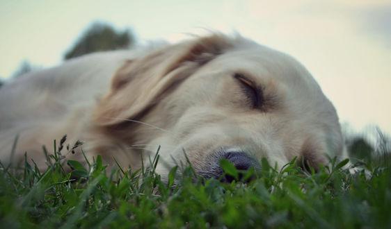 Обои Спящий в траве пес, фотограф Agata