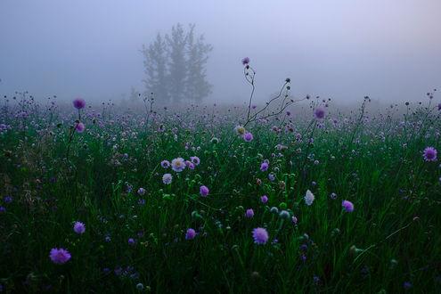 Обои Поле с голубыми цветами туманным утром