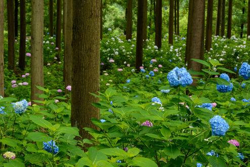 Обои Цветущая гортензия в лесу, фотограф Hiroshi Ohyama