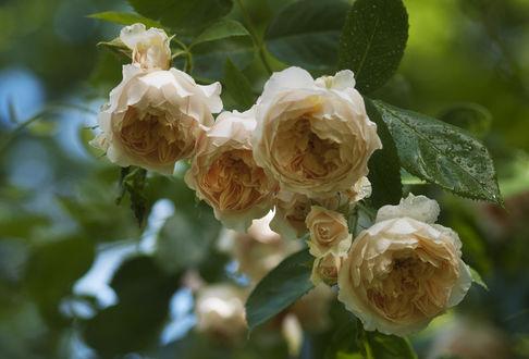 Обои Кремовые розы в каплях росы, фотограф Marianne Bakelaar