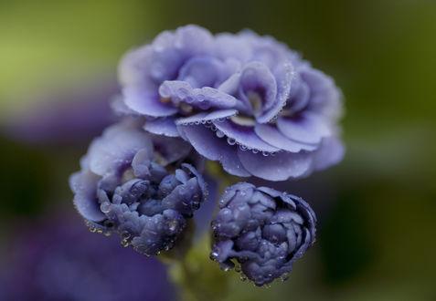 Обои Голубая примула в каплях росы, фотограф Marianne Bakelaar