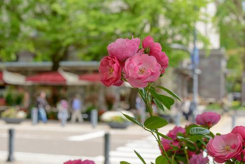 Обои Веточка розовой розы на фоне улицы города, фотограф Hiroshi Ohyama