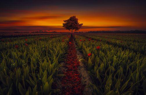 Обои Одинокое дерево на тюльпановом поле, закат