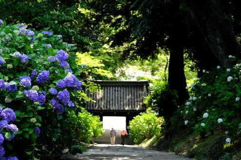 Обои Цветущая гортензия, город Sakuragawa, префектура Ibaraki, Japan / Ибараки, Япония, фотограф Kazuo Ishikawa
