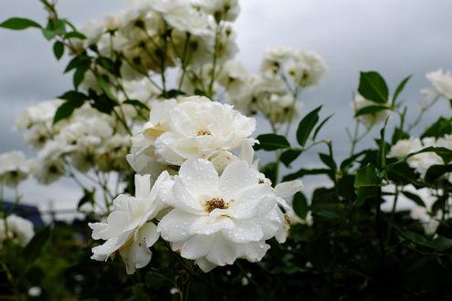Обои Белые розы в каплях росы, фотограф Kazuo Ishikawa