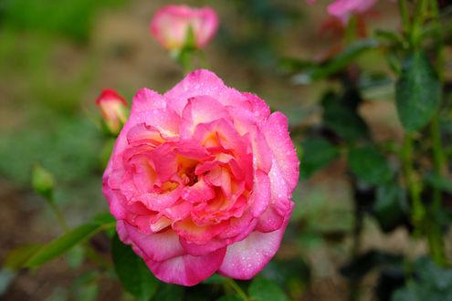 Обои Розовая роза с капельками росы, фотограф Kazuo Ishikawa