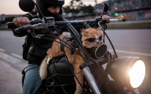 Обои Рыжий кот байкер в солнцезащитных очках лежит на баке впереди мужчины за рулем байка