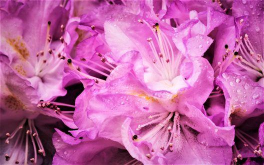 Обои Розовые рододендроны в капельках росы
