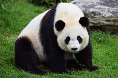 Обои Панда сидит на траве
